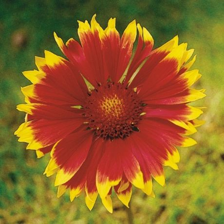 Gaillarde Aristata Arizona sun